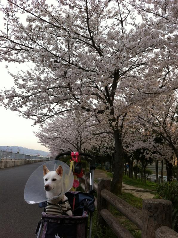桜めぐりの散歩
